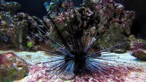 Black sea urchin stock video