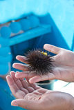 Black sea urchin in human hand. Diani beach Kenya Royalty Free Stock Photos