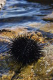 Black sea urchin Royalty Free Stock Photos