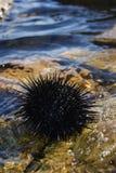 Black sea urchin Royalty Free Stock Photos
