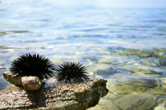 Black sea urchins. Close-up of two sea urchins Royalty Free Stock Photography