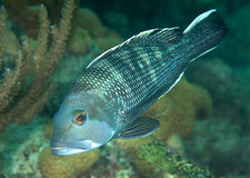 Black Seabass Royalty Free Stock Photography
