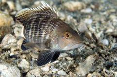 Black Seabass. Centropristis striata,picture taken in south east Florida Royalty Free Stock Image