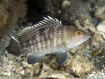 Free Black Seabass Royalty Free Stock Photos - 9547238