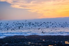 Black seagulls flying over Pacific ocean at sunset in Arica Chile. Black seagulls flying over Pacific ocean at sunset in Arica, Chile royalty free stock image