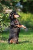 Black senior dachshund dog outdoors Royalty Free Stock Photo