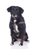 Black Senior dog Stock Photos