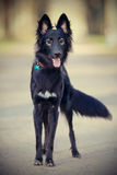 Black shaggy dog with a fluffy tail. Royalty Free Stock Images
