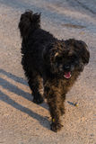 Black shaggy dog, Mixed-Breed Stock Image