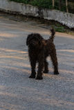 Black shaggy dog, Mixed-Breed Stock Photography