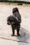 Black shaggy dog Poodle mongrel Royalty Free Stock Images