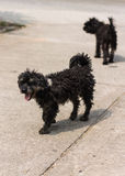 Black shaggy dog Poodle mongrel Royalty Free Stock Image