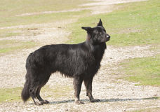 Black shaggy dog waiting Royalty Free Stock Images
