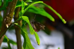 Black Shallowtail Butterfy (Papilionidae) Stock Images