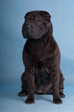 Black Shar-Pei Stock Photos