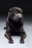 Black shar pei Stock Image