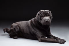 Black shar pei Stock Photos