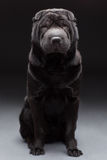 Black shar pei Stock Photo