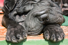 Black Shar-Pei close-up portrait Royalty Free Stock Photos