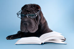 Black shar-pei with glasses reading a book Royalty Free Stock Image