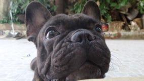 Black Sharpei dog waiting for some cracker Stock Images