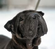 Black sharpei with poor skin. And coat stock photos