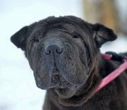 Black sharpei with poor skin. And coat royalty free stock photos