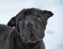 Black sharpei with poor skin. And coat stock image