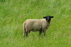Black sheep. At meadow stock image