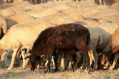 Black Sheep Stock Photography