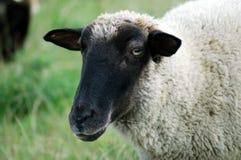 Black sheep. Head of a black sheep Royalty Free Stock Photo