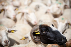 Black sheep Royalty Free Stock Photography