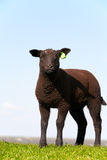 Black sheep. In the meadow, the Netherlands Royalty Free Stock Photography