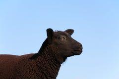 Black sheep Stock Photo