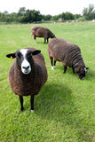 Black sheep. Three black sheep grazing in a meadow Stock Photography
