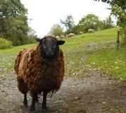 Black sheep. Looking at the camera Stock Image