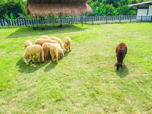 Black sheep. A black sheep surrounded by white sheep Stock Photos