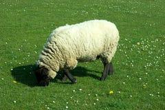 Black sheep. A black sheep feeding on grass Royalty Free Stock Photos