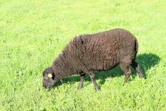 Black sheep Stock Images