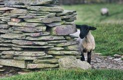 Black sheep behind the wall Royalty Free Stock Photo