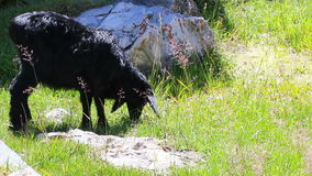 Black sheep and brown cow stock video