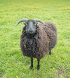 Black sheep. Black (brown, really) sheep with horns looks fixedly at the photographer Royalty Free Stock Photo