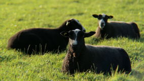 Black Sheep Chilling, Chewing and Staring stock video