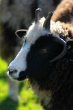 Black sheep close-up Royalty Free Stock Photo