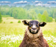 Black sheep. Curious black sheep in a field on bright sunny day Stock Images