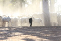 Black sheep dog in contrast to the whiteness of shorn sheep Stock Photo
