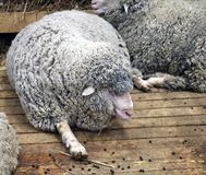 Black sheep domestic merino sheep. — a hoofed mammal with thick hair and edible meat stock image