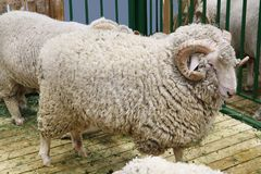 Black sheep domestic merino sheep royalty free stock image