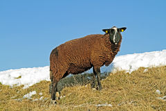 Black sheep on the dyke in winter Royalty Free Stock Photo