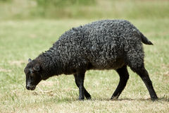 Black sheep. Eating grass in the scandinavian summer royalty free stock photo
